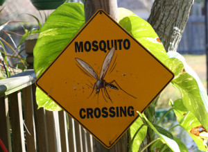 mosquito-crossing-1568680